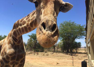 giraffe-lion-park-johannesburg-south-africa