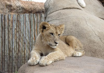 lion-cub-lion-park-joburg