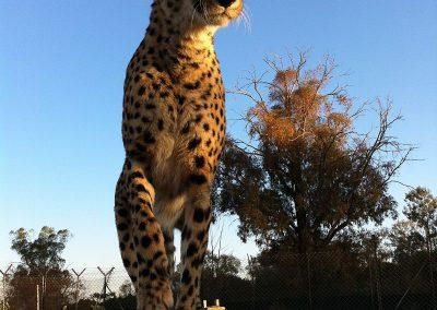 lion-park-wildlife-joburg-Cheetah-Johannesburg